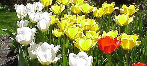 red-white-yellow-tulips
