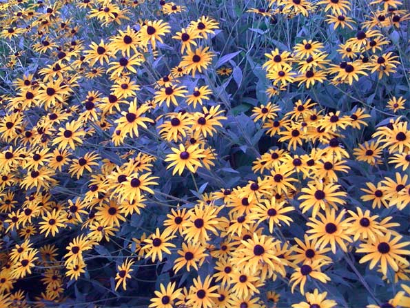 Black-eyed-Susan-flowers-fu