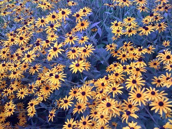Black-eyed-Susan-flowers-fu