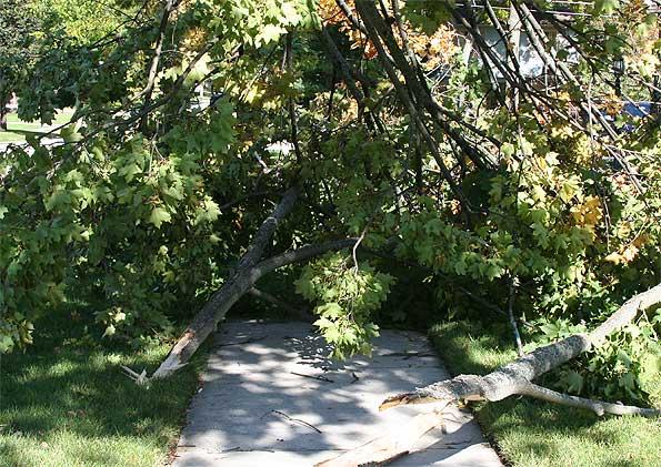 Maple-Tree-blocks-sidewalk