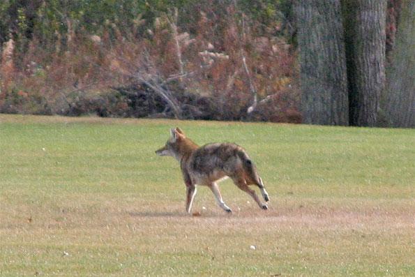 Coyote November 2010
