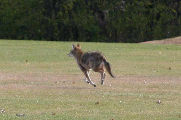 Coyote in Arlington Heights in November 2010 running through a cemetery