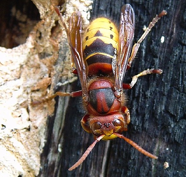 Deadly Asian Giant Hornet Spotted In Arlington Heights