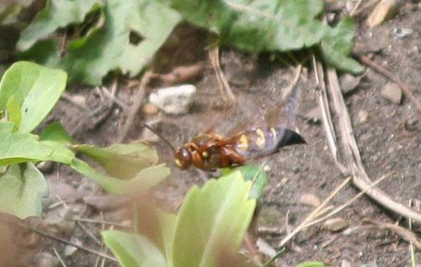 CicadaKillerSideBack