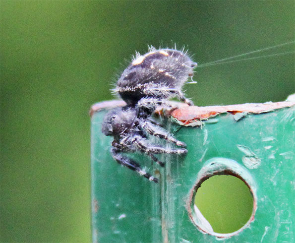 Common Jumping Spider (Phidippus audax) in Illinois