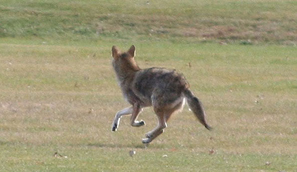 Coyotes Looking Comfortable Near Humans in Arlington Heights