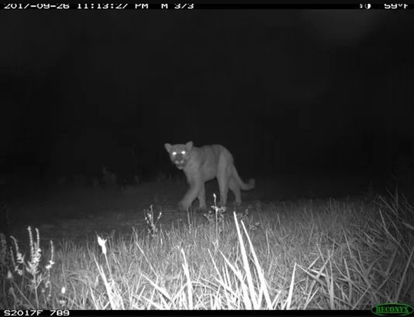 Cougar in Juneau County Wisconsin