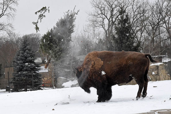 Ron the Bison seems to enjoy tossing a tree