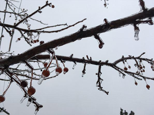 Iced branch Arlington Heights February 12, 2019
