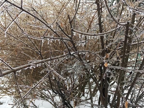 Iced bush Arlington Heights February 12, 2019