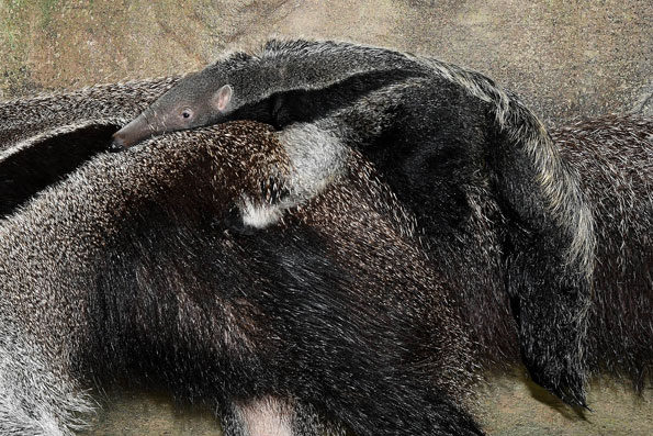 Giant Anteater Birth Brookfield Zoo