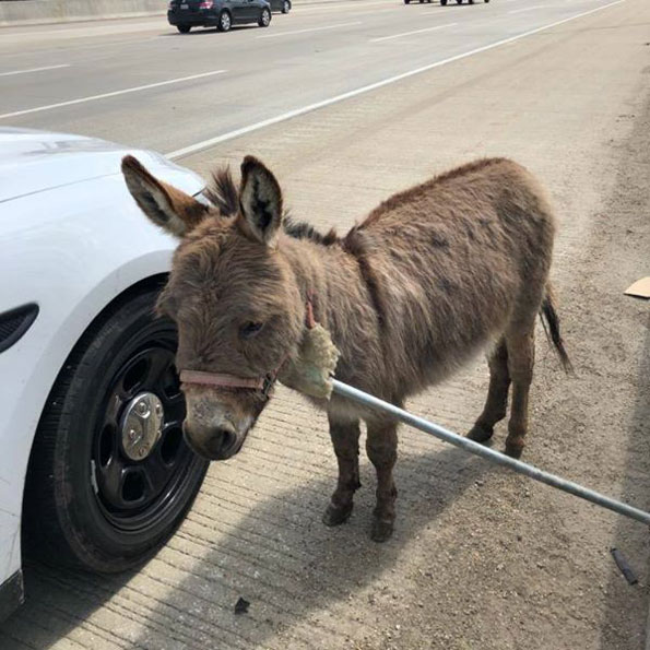 Cook County Sheriff's Deputy finds donkey on Interstate 90 near Arlington Heights Road