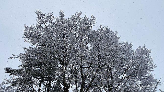 Beautiful snowfall in Arlington Heights on Friday, April 17, 2020 with snow accumulating on tree branches
