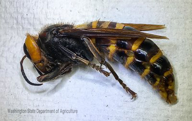 Asian Giant Hornet trapped July 14, 2020 in Birch Bay, Washington