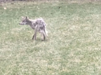 Emaciated coyote with mange immediately after it was seen eating a dead coyote and drinking water at a wet area near a sump pump outlet in a backyard in Arlington Heights in late March 2020