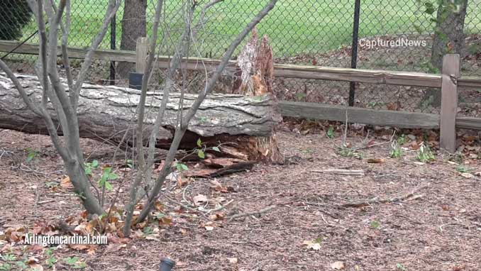Tree trunk broken in high winds in Arlington Heights on Sunday, November 15, 2020