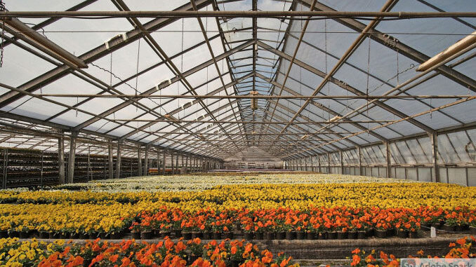 Flowers in commercial greenhouse
