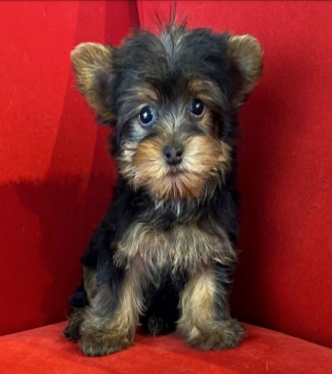 Stolen Yorkshire Terrier during commercial burglary of puppy store in Arlington Heights (SOURCE: Arlington Heights Police Department)