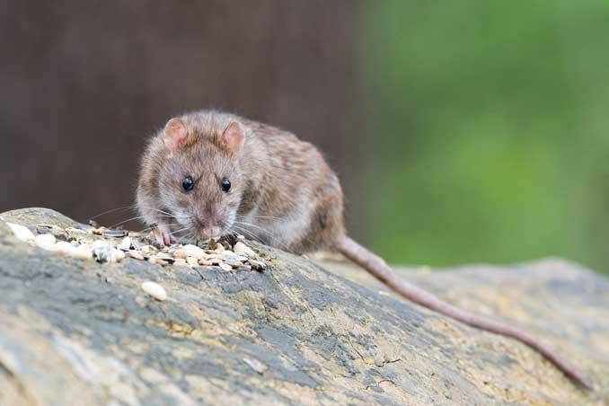 Brown Rat (SOURCE: Wolfgang Vogt)
