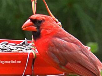 Cardinal at bird feeder eating black oil sunflower seeds