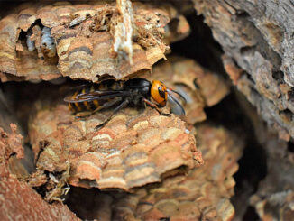 Asian Giant Hornet Queen August 2021 (SOURCE: Washington State Department of Agriculture)