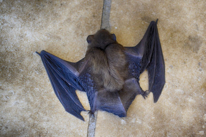 Bat on the floor with wings out